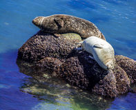 Seals enjoying the warmth of the sun Royalty Free Stock Images