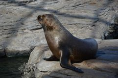 Seals, Fauna, Mammal, Harbor Seal royalty free stock photography