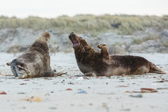 Seals fight on the beach in dune island near helgoland Royalty Free Stock Photos