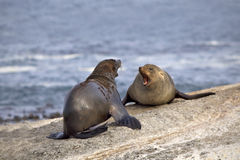 Seals fighting. Two seals fighting on a rocky island Stock Photo