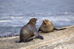 Seals fighting Stock Photo