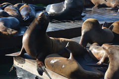 Seals at fishermans wharf San Francisco Stock Image