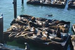 Seals at fishermans wharf San Francisco Royalty Free Stock Photography