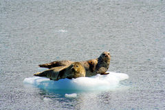 Seals floating on ice in Alaska Royalty Free Stock Photos
