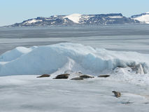 Seals on frozen Weddell sea. Seals lying on the ice of frozen Weddell sea, Antarctica Stock Photography