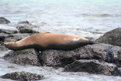 Seals Galapagos Islands Royalty Free Stock Images
