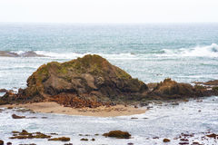 Seals gather at the base of an intertidal rock. Intertidal rocks along the Oregon Coastal beaches are a favorite basking place for seals stock photo