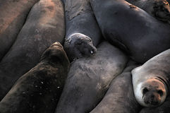 Seals Stock Photos
