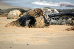 Seals on beach portrait Stock Image