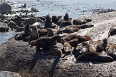 Seals in Hout Bay Cape Town Stock Photo