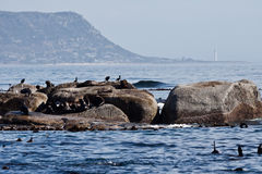 Seals in Hout Bay Cape Town Royalty Free Stock Photography