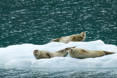 Seals on Ice Stock Photography