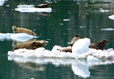 Seals on ice floes Stock Images