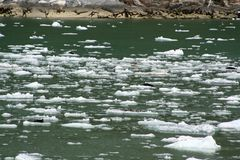 Seals on an ice flow in Alaska Royalty Free Stock Images