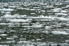 Seals on an ice flow in Alaska Royalty Free Stock Photos