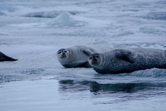 Seals on ice Stock Image