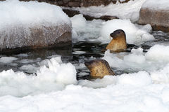Seals in the Ice Pool. Seal chilling out in the ice pool Royalty Free Stock Image