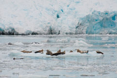 Seals on iceberg Royalty Free Stock Photos