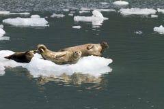 Seals on iceberg Royalty Free Stock Image