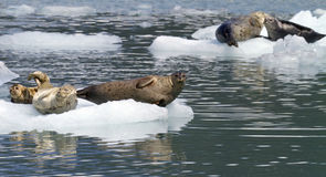 Seals on iceberg Stock Images