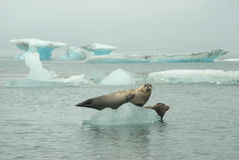 Seals On Iceberg. Two seals sunbathe on an Iceberg in the Jokulsarlon lagoon, Iceland stock photography
