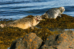 The Seals , Iceland Stock Images