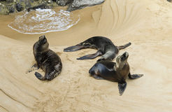 Seals. An image of three seals in a public city park of Spain Royalty Free Stock Photography