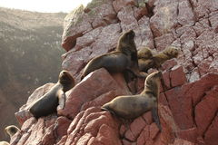 Seals Islas Ballestas Stock Photography
