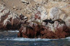Seals Islas Ballestas Royalty Free Stock Photos