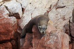 Seals Islas Ballestas Stock Image