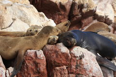 Seals Islas Ballestas Royalty Free Stock Image