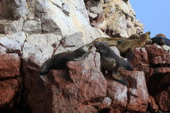 Seals Islas Ballestas Royalty Free Stock Images