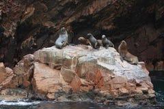 Seals Islas Ballestas Stock Photography