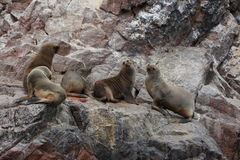 Seals Islas Ballestas Royalty Free Stock Images