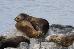 Seals on an islet Stock Image