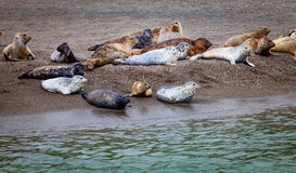 Seals of Jenner, California Stock Images