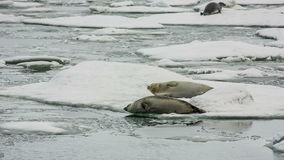 Seals in Jokulsarlon Lagoon stock video