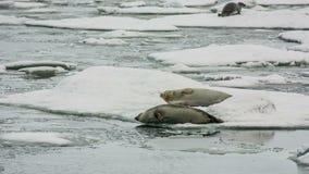 Seals in Jokulsarlon Lagoon stock video
