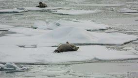 Seals in Jokulsarlon Lagoon. In Iceland stock footage