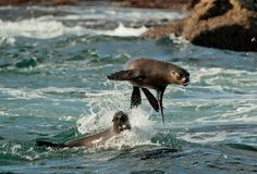 Seals jump out of water . Stock Image