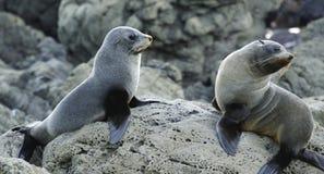 Seals. Keeping a sharp lookout for threats, Kaikoura Coast, New Zealand Royalty Free Stock Photography