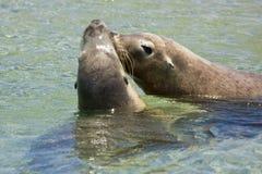 Seals kissing royalty free stock photos
