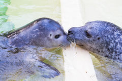 Seals kissing. Headshot of two seals, kissing together Royalty Free Stock Images