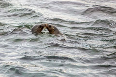 Seals Kissing in the Ocean. Seals being cute together kissing in the ocean Stock Images