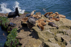Seals in La Jolla, California Stock Image