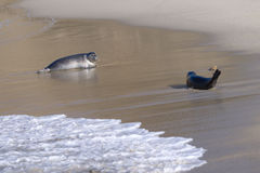 Seals in La Jolla Royalty Free Stock Image