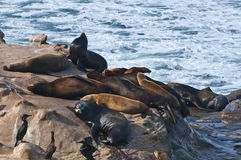 Seals, LaJolla California Stock Photo