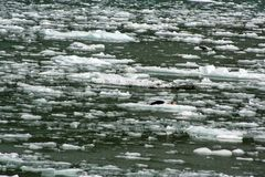 Seals on an ice flow in Tracey Arm Alaska Stock Photography