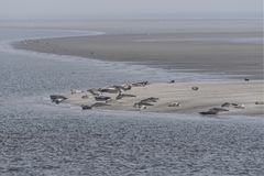 Seals laying on sandbank in the wadden sea. A group of seals laying on sandbank in the wadden sea near holm Langeness Stock Image