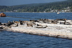 Seals on a log boom Royalty Free Stock Photos